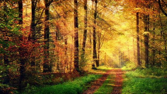 Sunbeams in autumn forest wallpaper