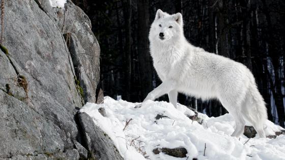 Alaskan tundra wolf wallpaper