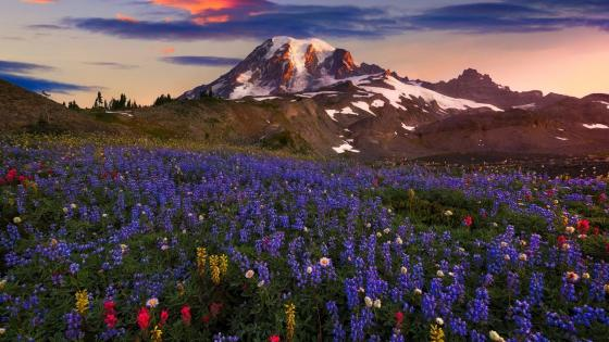 Lupin blossom in Mount Rainier National Park wallpaper