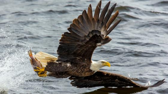Fishing Bald Eagle wallpaper