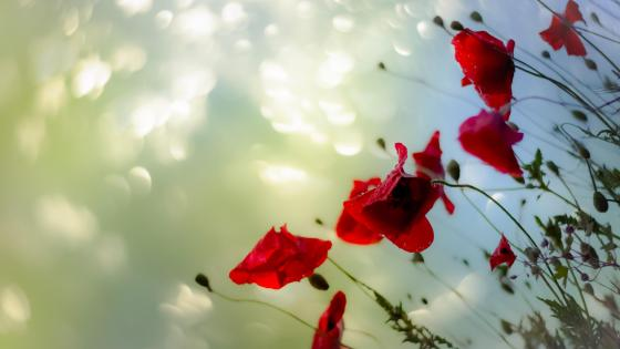 Red poppies wallpaper