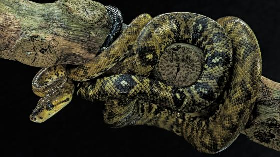 Tree boa (Corallus ruschenbergerii) wallpaper