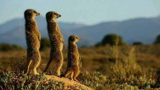 Meerkats wallpaper