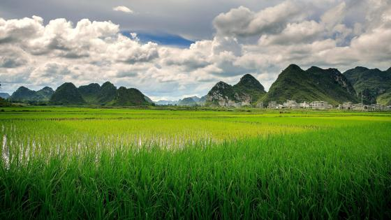 Paddy field in China wallpaper