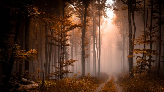 Foggy fall forest pathway wallpaper