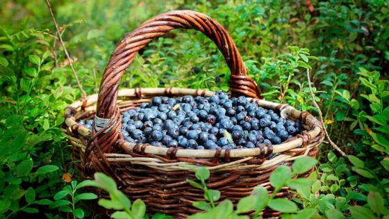 A basket of blueberries wallpaper