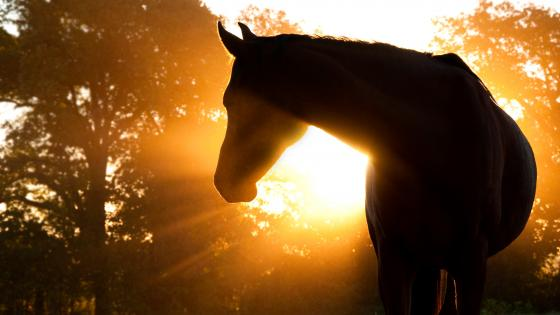 Horse Sillouette wallpaper