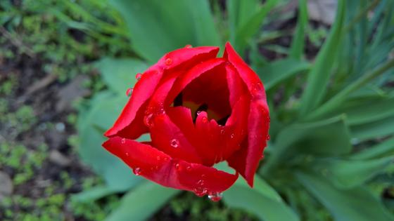 Red tulip wallpaper