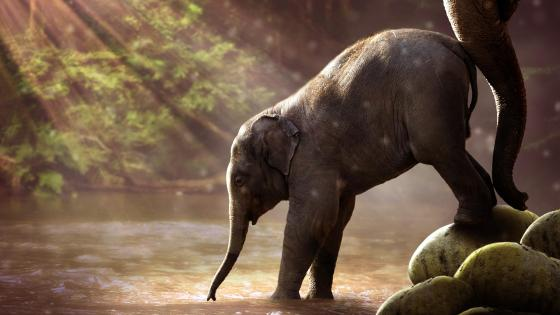 Calf elephant wallpaper