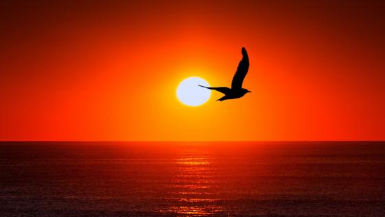 Bird silhouette in sunset wallpaper