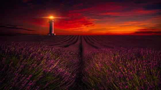 Lavender field at sunset wallpaper