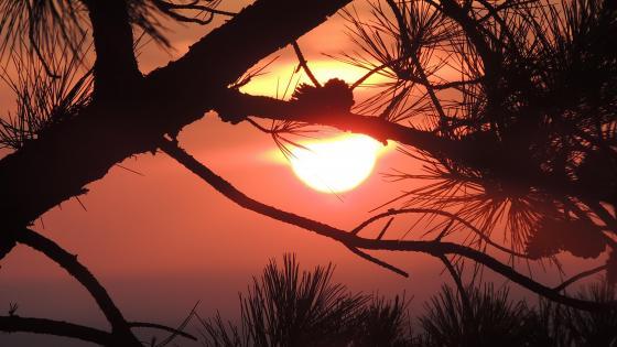 Pine tree silhouette in the sunrise wallpaper