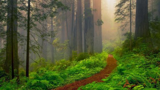 Redwood National Park forest path wallpaper