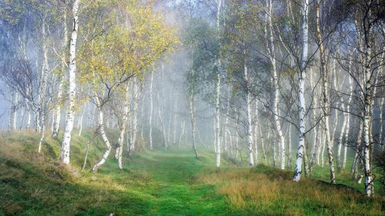 Birch forest in fog wallpaper