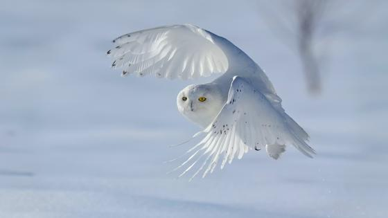 Snowy Owl wallpaper