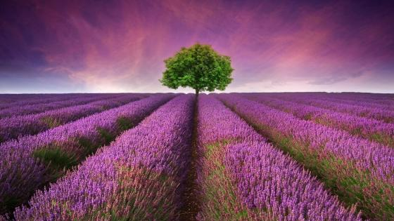 Lavender field in Provance wallpaper