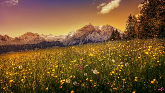 Wild flowers in the mountainside wallpaper