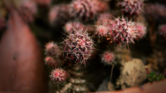 Golden barrel cactus wallpaper