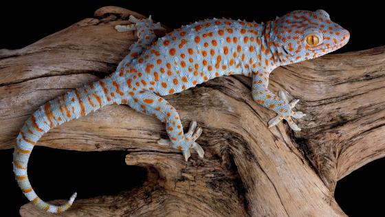 Tokay gecko wallpaper