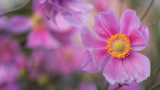 Pink Anemone wallpaper