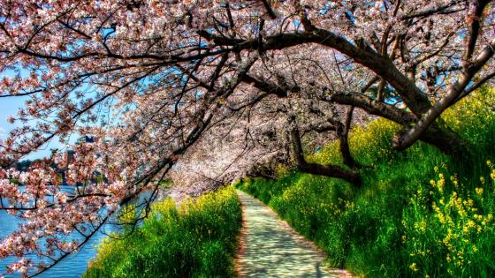 Lakeside cherry blossom wallpaper