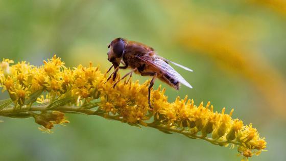 Hoverfly at Breakfast wallpaper