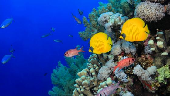 Coral Reef Fishes wallpaper