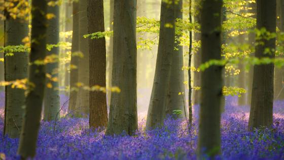 Bluebell carpet in the woods wallpaper