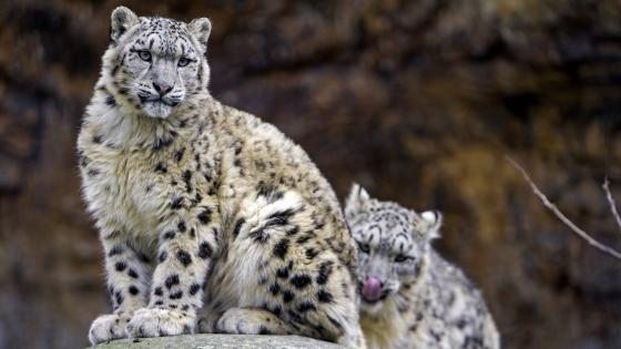 Snow leopards wallpaper