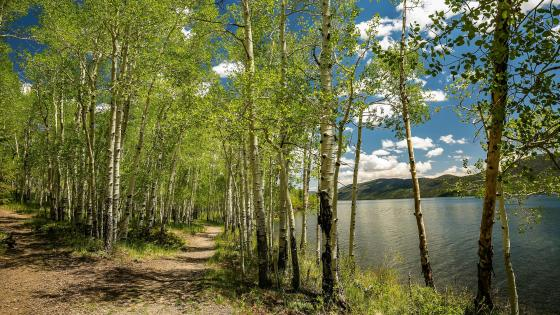 Lakeside birch forest wallpaper