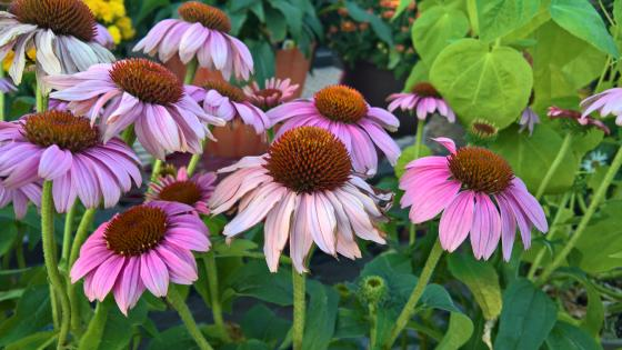Pink Cone Flower wallpaper