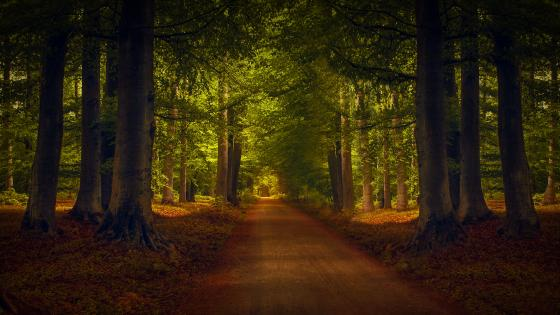Evergreen forest pathway wallpaper