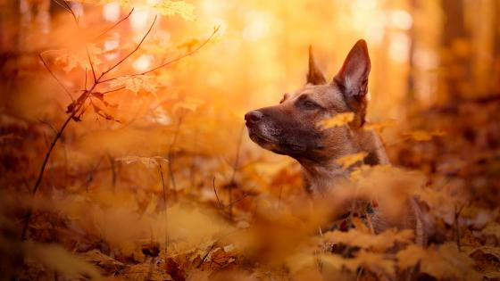 Belgian Shepherd dog in the fall forest wallpaper