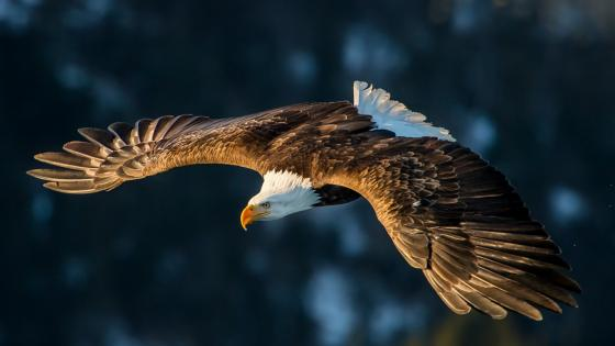 Flying Bald Eagle wallpaper
