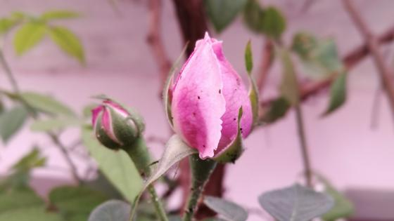 Pink Rose Bud wallpaper