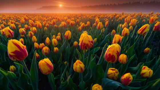 Dutch Tulips wallpaper