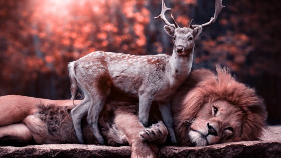 Unbelievable! Deer with lion wallpaper