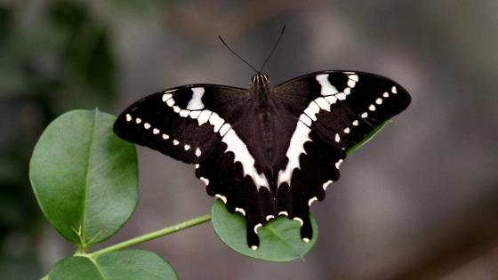 Black and white butterfly wallpaper