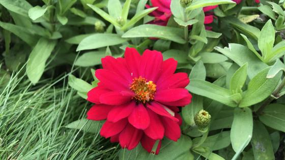 Red Daisy Flower wallpaper