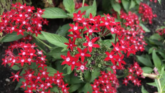 Red Star Flowers wallpaper
