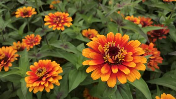 Orange and Red Daisy Flower wallpaper