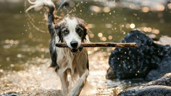 Wet dog running with a cane wallpaper