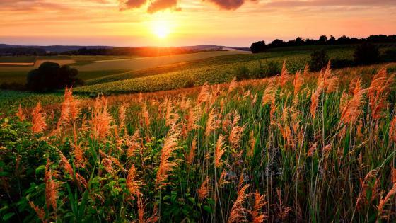 Reed in the setting sun wallpaper