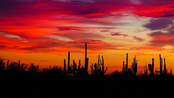 Cacti sunset silhouettes wallpaper