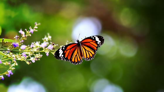 Common tiger butterfly wallpaper