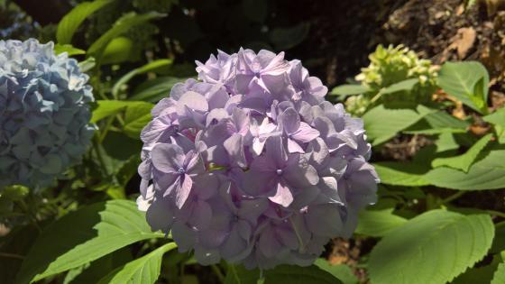 Lilac Hydrangea wallpaper