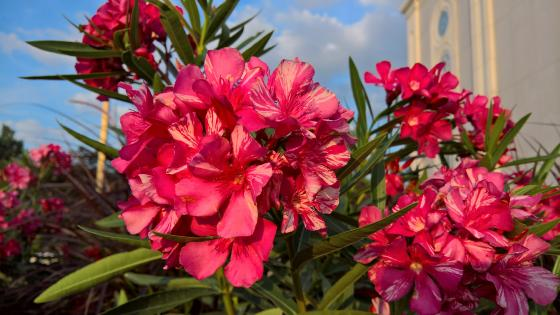 Peruvian Lily wallpaper