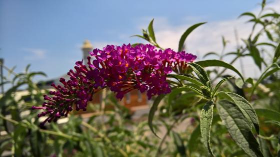 Purple Flowers on Blue Sky wallpaper
