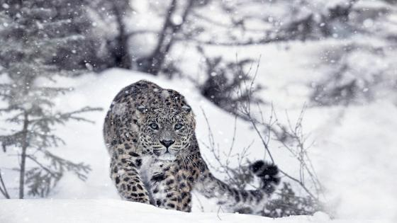 Hunting snow leopard wallpaper