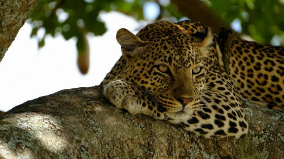 Leopard on a branch wallpaper